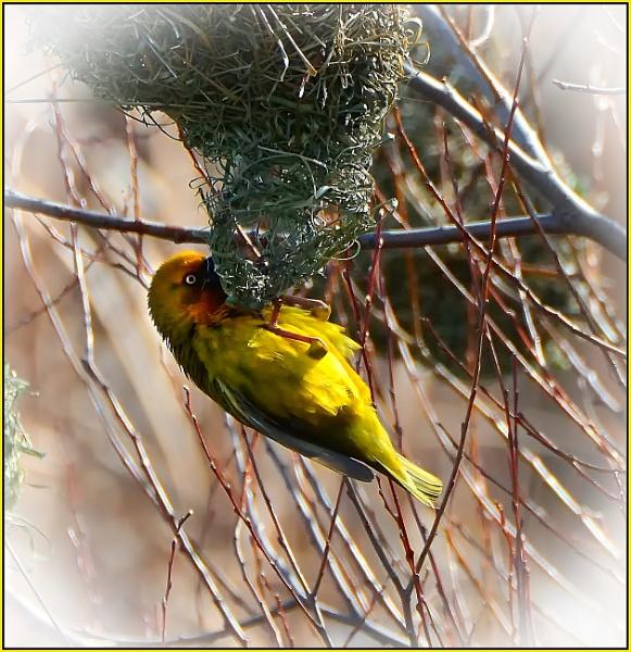 Nestbuilding by fotobee