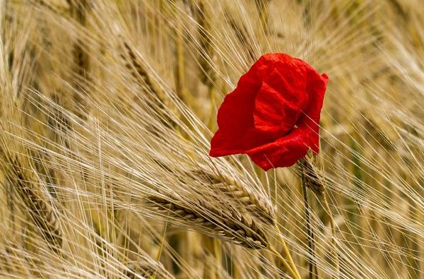 Poppy Day by danbrann