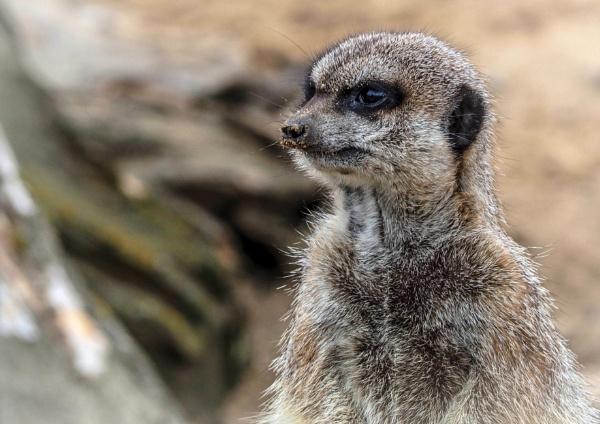 Meerkat (revised) by DaveRyder
