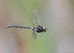 Common Hawker (Aeshna juncea, Male)