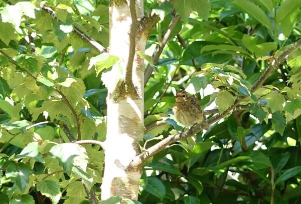 Birdy in a Birch Tree. by frogs123