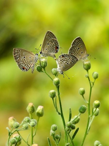 little butterflies of 4 by gautamc