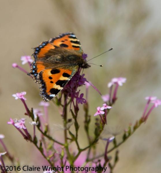 Beautiful Butterfly by wrighty76