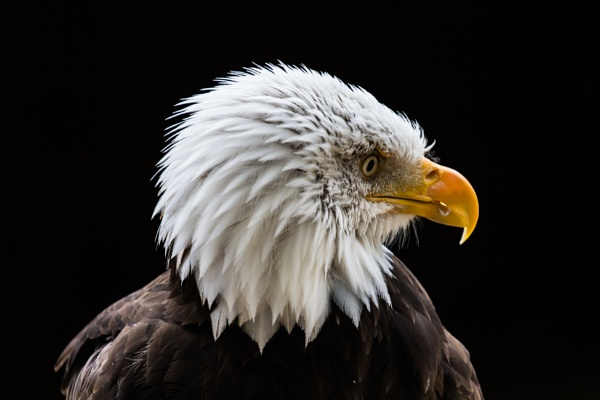 Bald Eagle by grahammooreuk