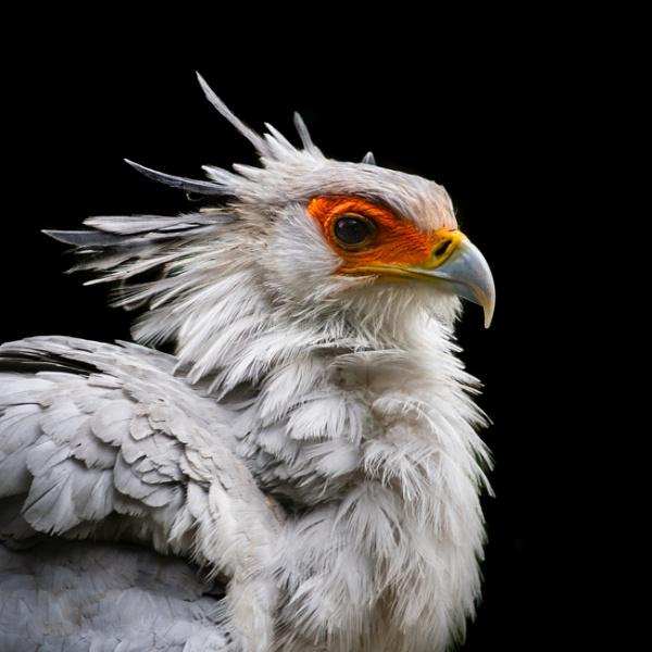 Secretary Bird by grahammooreuk