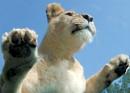 Lioness by cjevans4u
