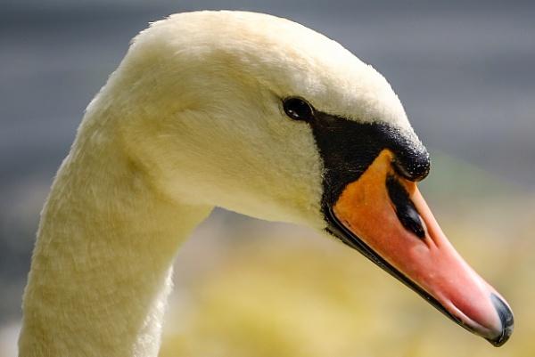 Swan by Aldrin69