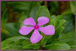 *** Catharanthus roseus ***