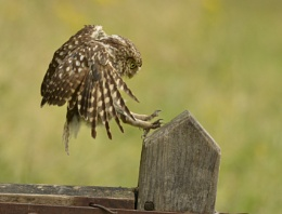 Little Owl Landing
