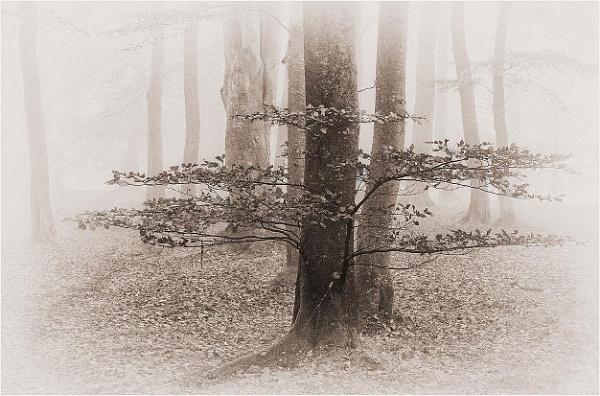 Beechwood Mist by MalcolmM