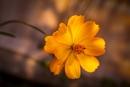 Californian Poppy by mark2uk