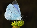 Holly blue by Mike_Young