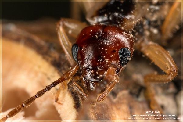 I hate earwigs!!! by Paul_Iddon