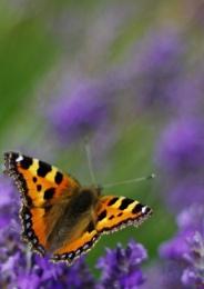 Flutter By on Lavender
