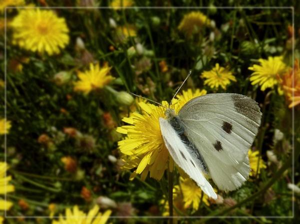 white on yellow by CarolG