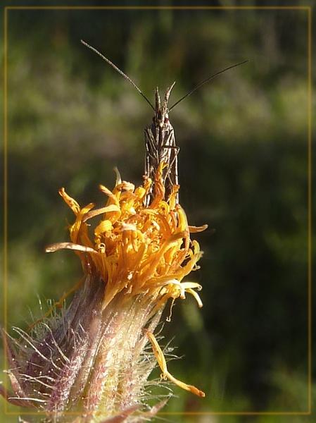 grass moth by CarolG