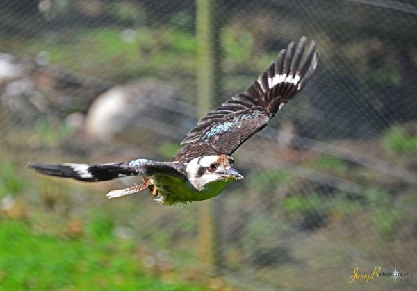 Kookaburra in Flight by jb_127