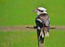 Kookaburra by jb_127