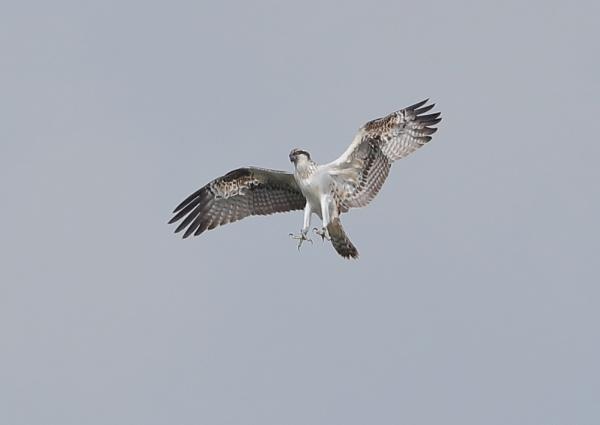 Juvenile Ospreys in Flight by NeilSchofield