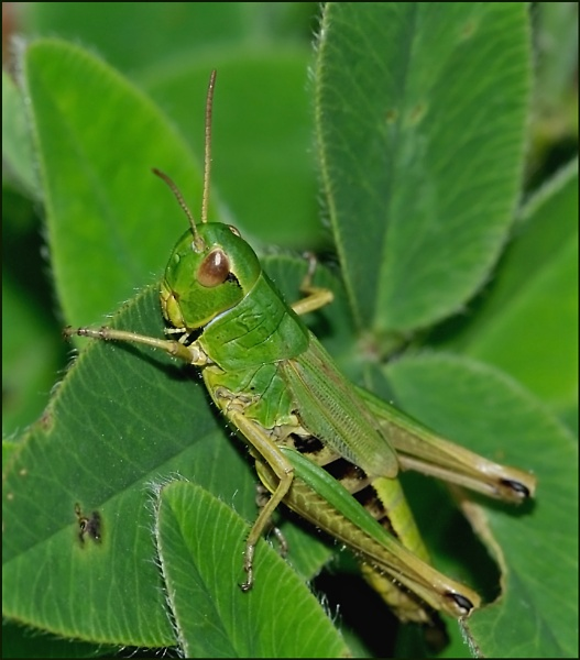 Common Green Grasshopper-Omocestus viridulus. by Badgerfred
