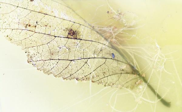 Floating leaf by helenlinda