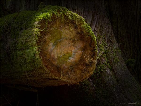The Dog Wood Tree by Daisymaye