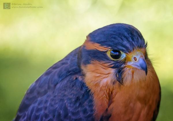 Juvenile Falcon by timecapturer