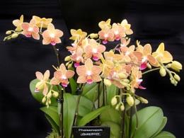 Phalaenopsis Gold Staff