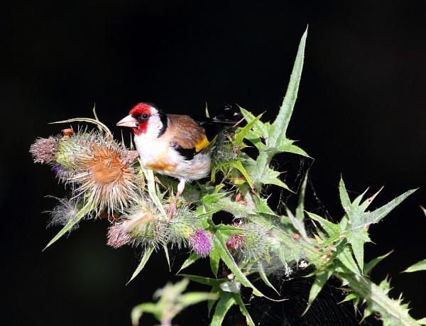 Goldfinch Feeding by Bigdenbo
