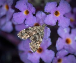 Common Nettle-Tap Moth (Anthophila fabriciana)