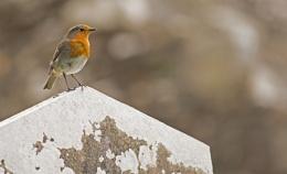 Robin at Glendalough