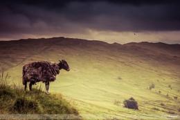 Sheep Sentry