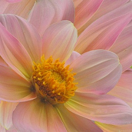 Chrysanthemums petals