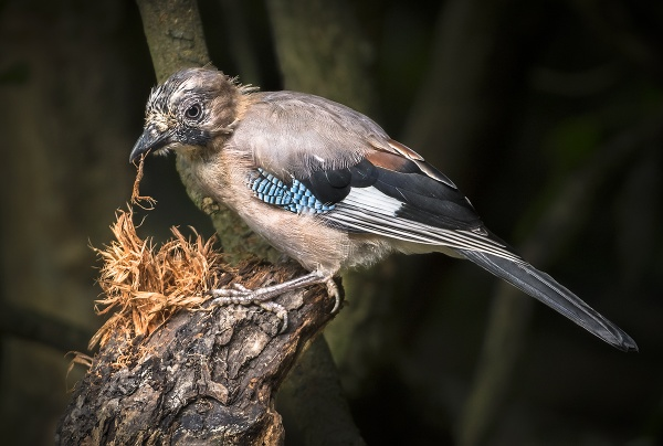 Juvenile Jay by BydoR9