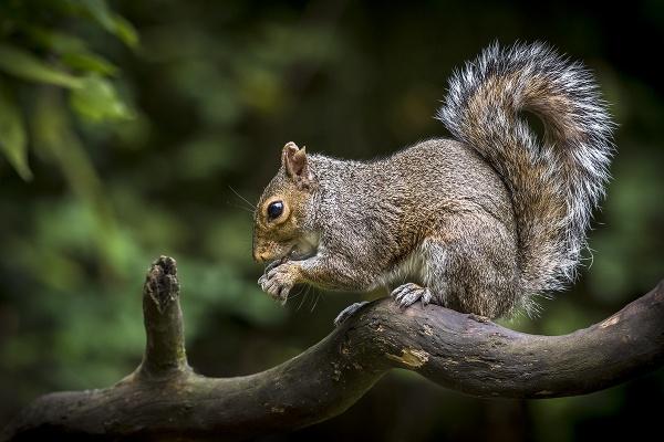 Grey Squirrel by BydoR9