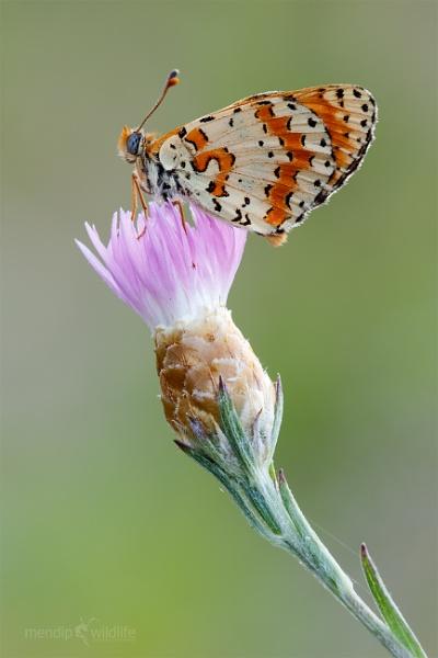 Spotted Fritillary - Melitaea didyma by Mendipman