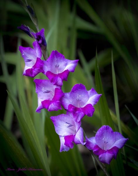 Gladiolus. by kuvailija