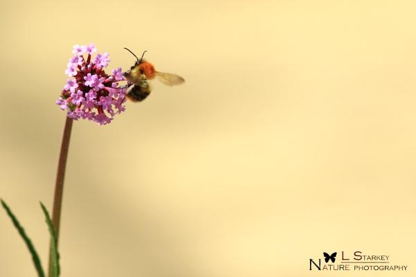 BEE ON VERBEENA