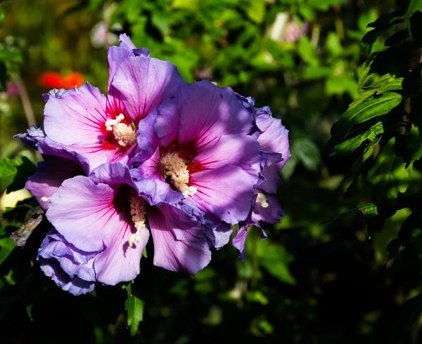 Hibiscus by Nikonuser1