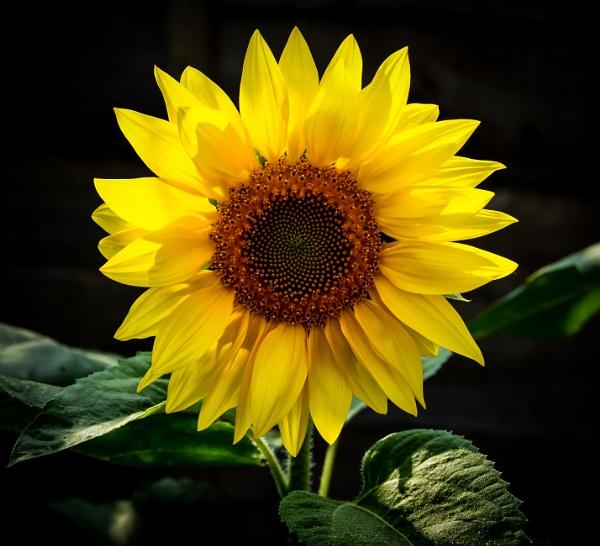 Sunflower by Nikonuser1
