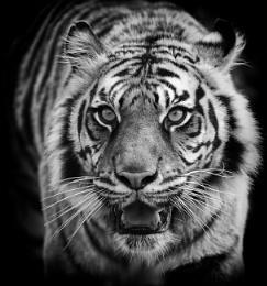 Tiger Portrait Mono