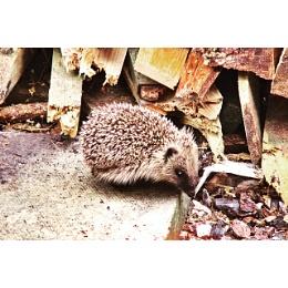 Hedgehog by the wood pile