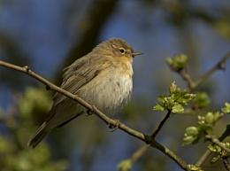 Willow Warbler
