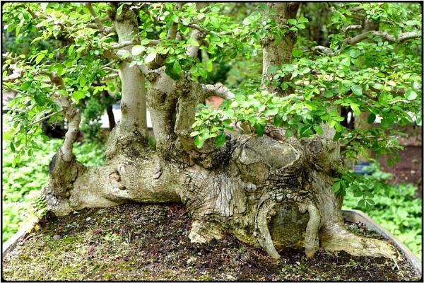 old bonsai by FabioKeiner