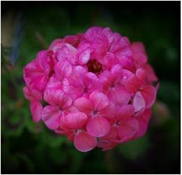 Geranium...........