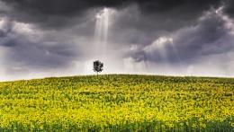 Lone Tree in Yellow