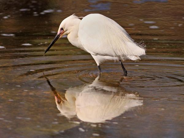 Egret by bobpaige1