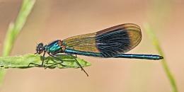 Banded Demoiselle--Calopteryx splendens.