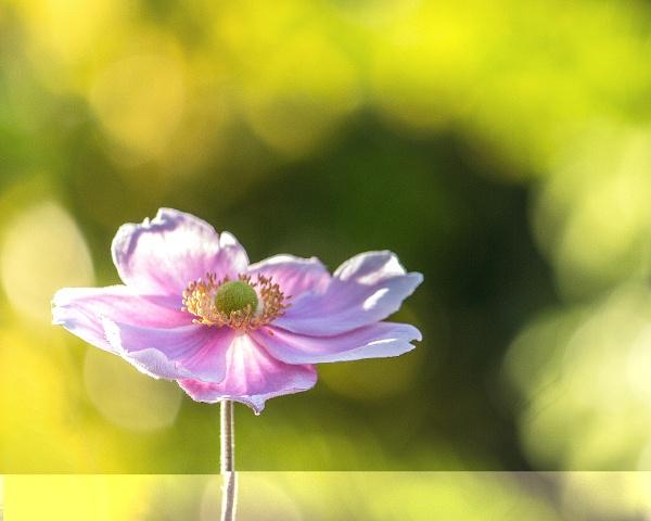 Japanese Anemone by sarumboy