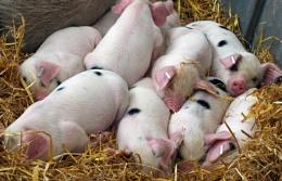 Let Sleeping Piglets Lie